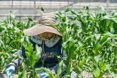 foto of japanese woman  - An elderly Japanese woman working in her field growing corn - JPG