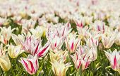foto of cowslip  - background mottled white and red tulips in the tulip festival in Istanbul - JPG