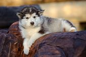 image of husky sled dog breeds  - cute puppy of alaskan malamute dog in summer - JPG