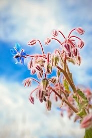 foto of borage  - A borage flower stands out against a blue sky - JPG