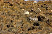 Kelp, Seawall