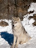 Young Wolf Pup Calm Attentive