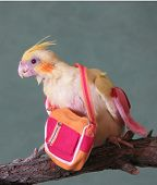 Cockatiel With Hand Bag