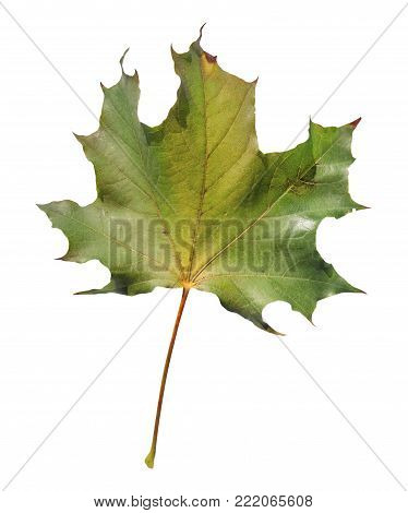 poster of Natural green isolated on white leaf from botany plant garden