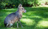 Patagonian mara (Dolichotis patagonum) is a relatively large rodent in the mara genus (Dolichotis).  poster