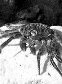 Black Crab On Rock