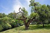 live oak, Morgan Territory, CA