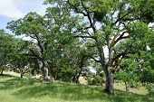 oak trees on a grassy hillside