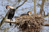 Two gret Cormorants in nest