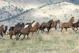 stock photo of running horse  - Horses stampede to avoid roundup.Photographed on a working horse ranch in Montana.