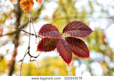 poster of Red Leaf. Autumn Is Already Here. Vibrant Leaves Close Up. Autumnal Background. Branch Leaves. Flora