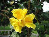 Hibisco amarillo