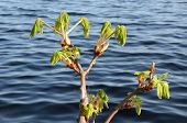 Conker Tree Branches Grow In Spring Ripple Water
