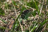 Common Lizard In The Grass