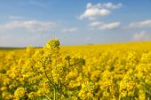 Rapeseed, Canola Or Colza Field In Latin Brassica Napus, Rape Seed Is Plant For Green Energy And Oil poster