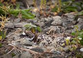 Baby Killdeer Chick In Nest With Eggs
