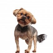 curious yorkshire terrier looking side, moving tail and standing isolated on white background in stu poster