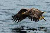 White-tailed Eagle In Flight With Fish Plugged From Sea At Sunrise,hokkaido, Japan, Majestic Sea Eag poster