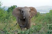 Curious Young Elephant At Pilansberg Nature Reserve poster