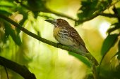 White-whiskered Puffbird - Malacoptila Panamensis  Resident Breeding Bird From Southeastern Mexico T poster