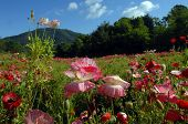 Carolina Poppies