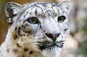 stock photo of panthera uncia  - Close up Portrait of Snow Leopard Irbis  - JPG
