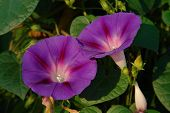 Close-up Of Purple Flowers Of Ipomoea Purpurea (common Morning-glory, Tall Morning-glory, Or Purple  poster