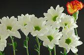 white and green chyrsanthemums