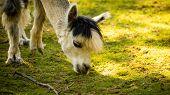 Furry White Lama In Zoo Austria Styria Herberstein Tourist Destination Autumn Time. poster