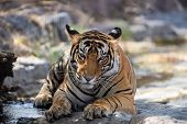 Male Tiger Resting On Rocks. Bengal Tiger In Nature Habitat. Wildlife Scene With Danger Animal. Head poster