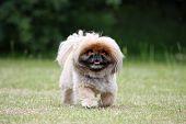 Cute Little Fluffy Dog Going For A Walk