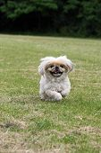 Little Dog Running In A Big Field