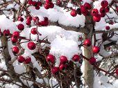 Snowy Hawthorn