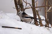 Long-tailed Tit (aegithalos Caudatus) In Winter. Novosibirsk Region, Russia. poster