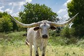 Closeup Of White Speckled Longhorn In Front Of Trees poster