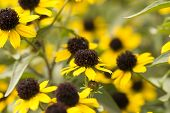 Blossoming Of A Coneflower Hairy Rudbeckia Hirta  Background, Close Up , Selective Focus poster