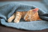 Cute red kitten sleeps on the back on sofa covered with a gray knitted blanket. Adorable little pet. poster