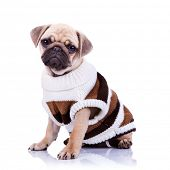 cute mops puppy dog wearing clothes and  looking to the camera on white background