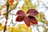 Red Leaf. Autumn Is Already Here. Vibrant Leaves Close Up. Autumnal Background. Branch Leaves. Flora poster