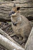 The Joey Swamp Wallaby Is Hiding In A Wood Pile poster