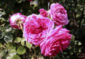 The Famous Pink Rosa Centifolia , Provence Rose Or Cabbage Rose Is A Hybrid Rose Developed By Dutch  poster