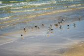 Flock Of Birds Flying Along The Coastline Of Padre Island Ns, Texas poster