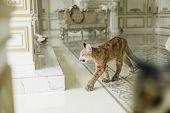 Puma In A Luxurious Interior. Puma - A Predator Of The Genus Puma Feline Family poster