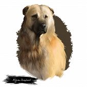 Afghan Shepherd Breed Digital Art Illustration Isolated On White Background. Cute Domestic Purebred  poster
