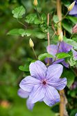 Light Purple Clematis Flower