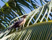 Adult American Robin (Turdus Migratorius) Sitting In A Palm Tree