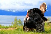 stock photo of wild turkey  - A large tom turkey in full strut near Anchorage alaska - JPG