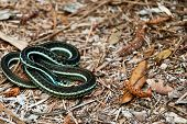 stock photo of harmless snakes  - A Bluestripe Garter Snake coiled up on the Florida Panhandle - JPG