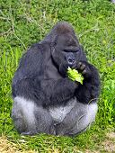 A western lowland silver back male gorilla eating vegetation sitting against a green foliage background