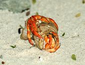 Couple Of Hermit Crab Copulation